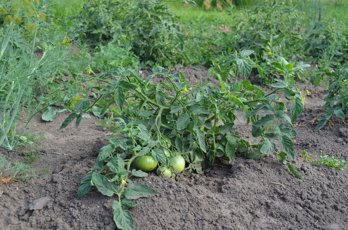 Описание сорта томат «монгольский карлик», характеристики и вкусовые качества