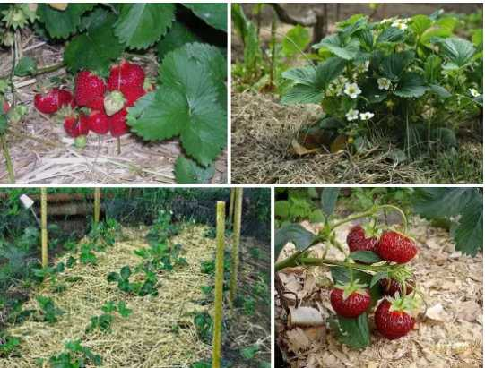Как размножается клубника: усами, делением куста, выращивание из семян