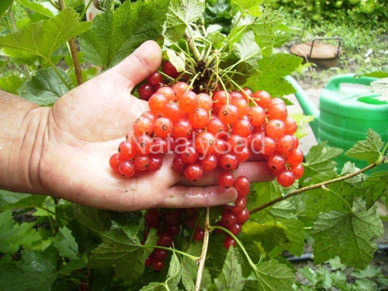 Смородина мармеладница: описание сорта красной смородины, выращивание - посадка и уход