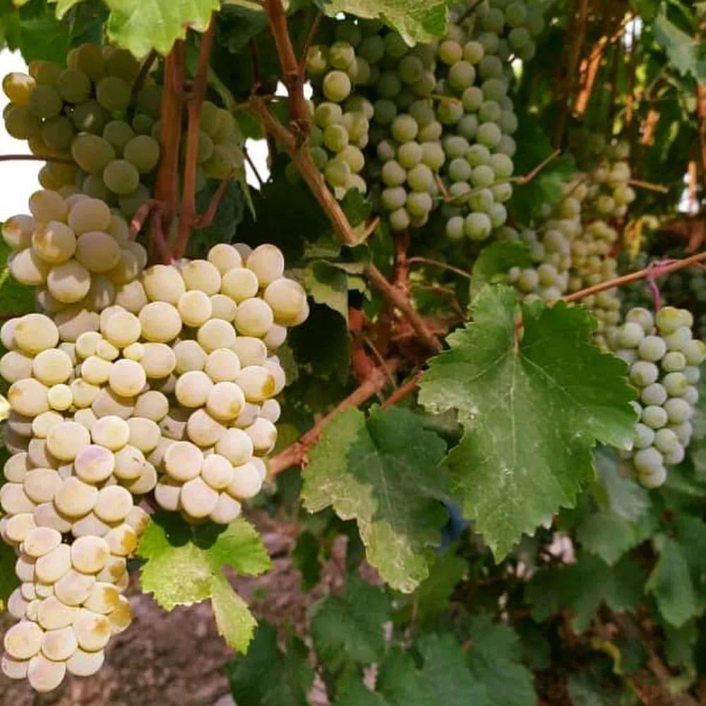 Виноград ркацители: описание сорта, характеристики, фото, особенности выращивания и урожайность selo.guru — интернет портал о сельском хозяйстве