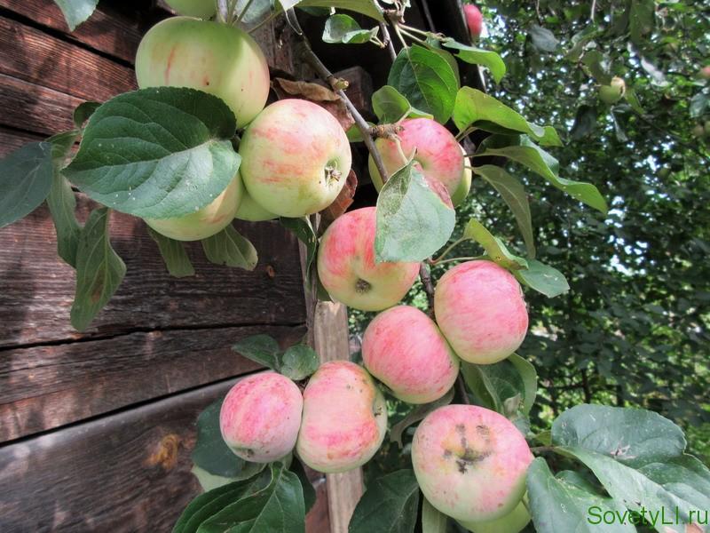 Что можно сделать при отсутствии плодоношения у яблоки и почему так происходит
