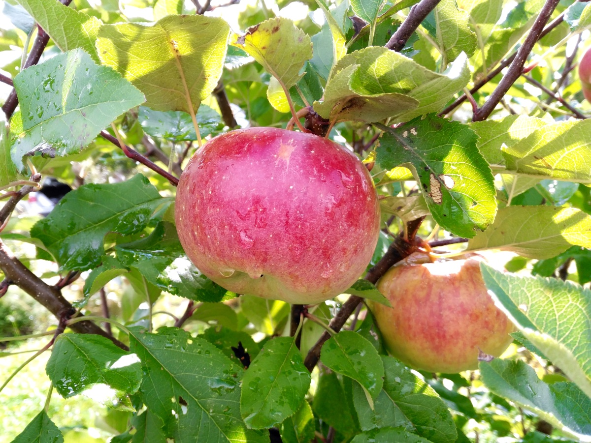 """Яблоня """"джонатан"""": описание сорта, фото, отзывы"""