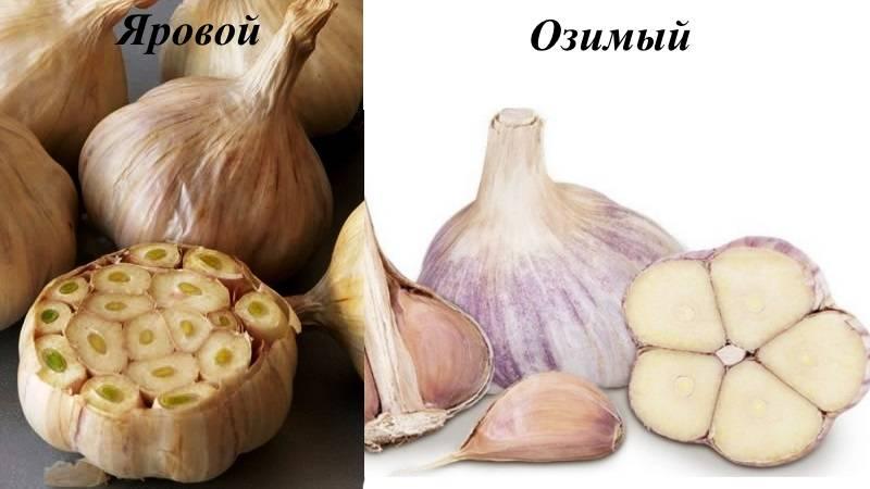 Сорта чеснока с фото и описанием