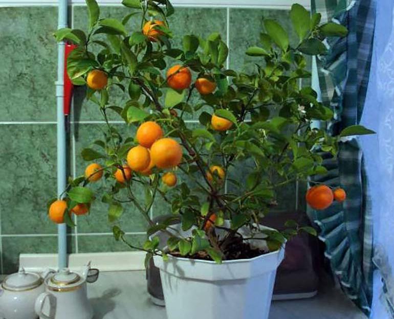 Апельсин в домашних условиях из косточки: полезные советы