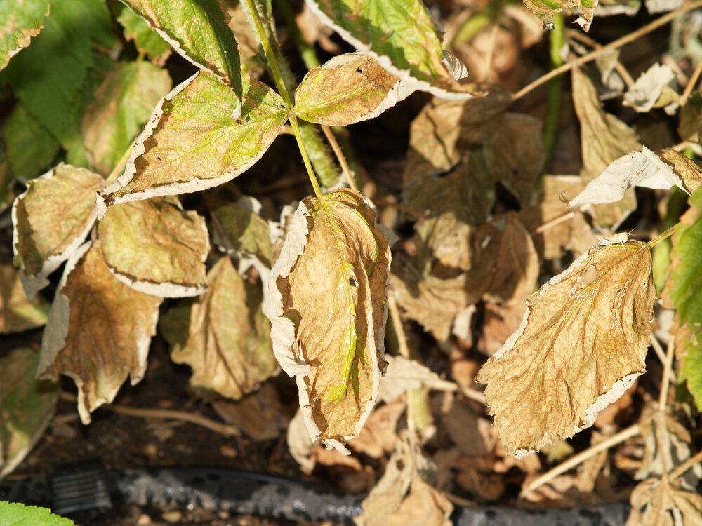 Малина: болезни и вредители, фото, почему желтеет и сохнет, чем обработать