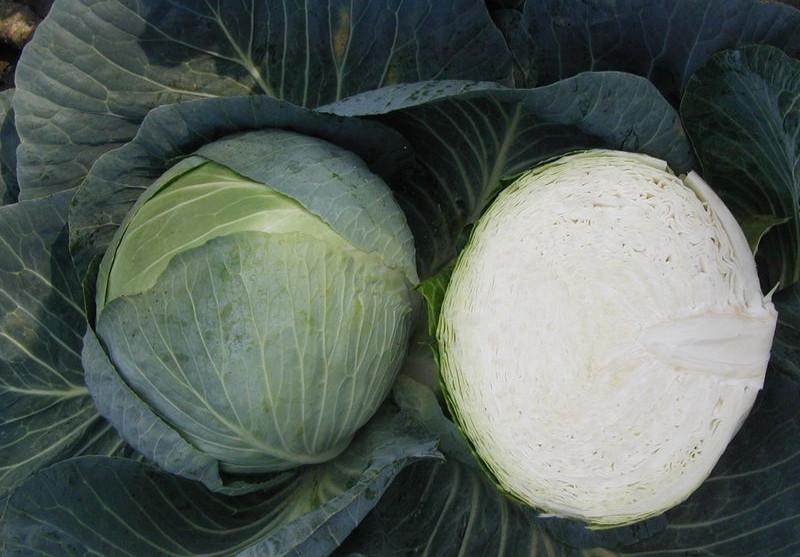 Капуста бартон f1: описание и урожайность сорта, отзывы, фото