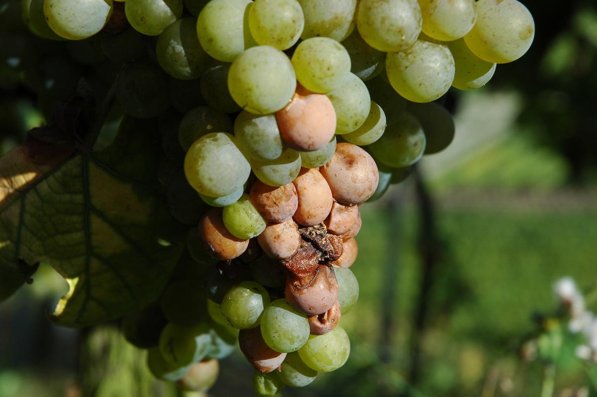 Как защитить виноградник от нападения ос