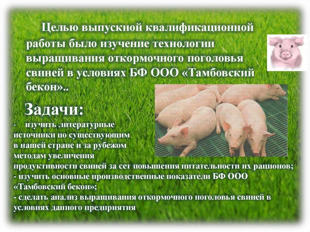 Домашняя свинья - особенности ухода и правила разведения (видео + 115 фото)