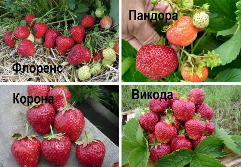 Суперклубника вивара входит в топ-5 по выносливости, урожайности и качеству плодов