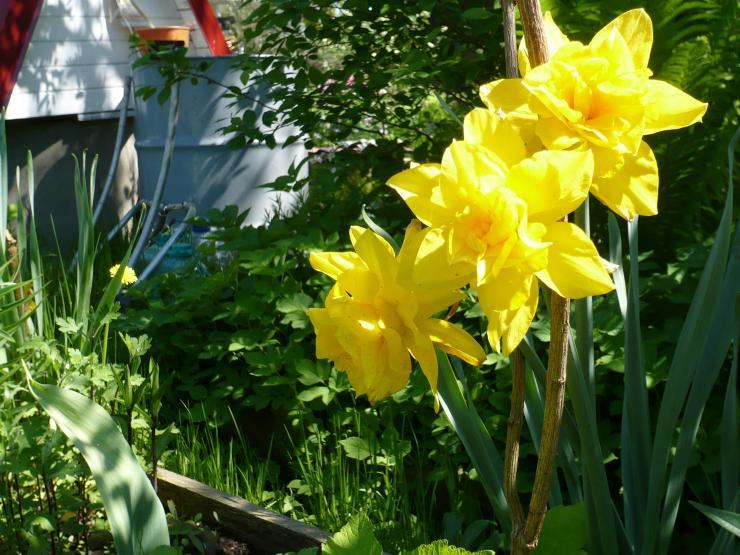Нарцисс голден дукат: описание и характеристики сорта, посадка и уход, отзывы с фото