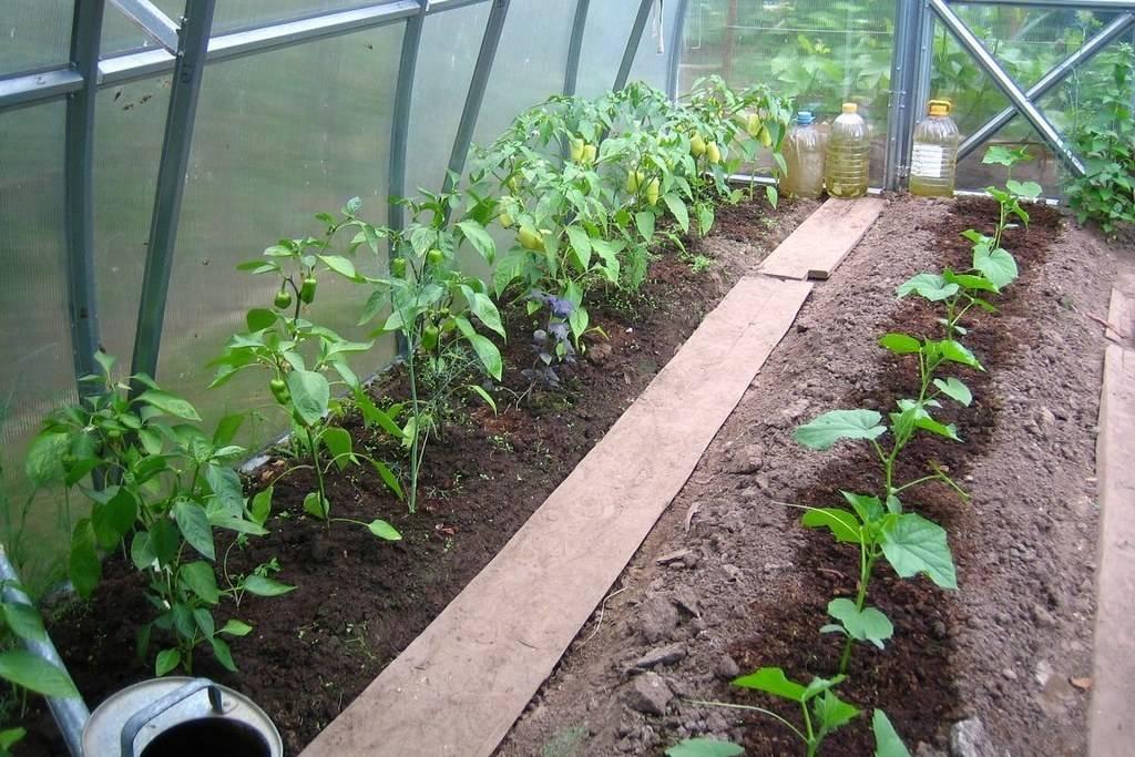 Можно ли сажать в одной теплице помидоры, перцы и баклажаны