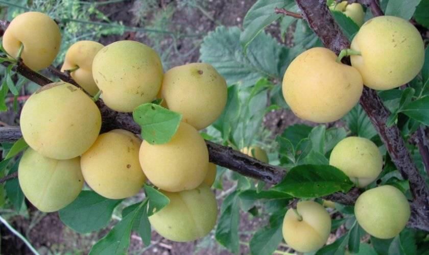 Слива венгерка: описание сортов и характеристики, посадка, выращивание и уход