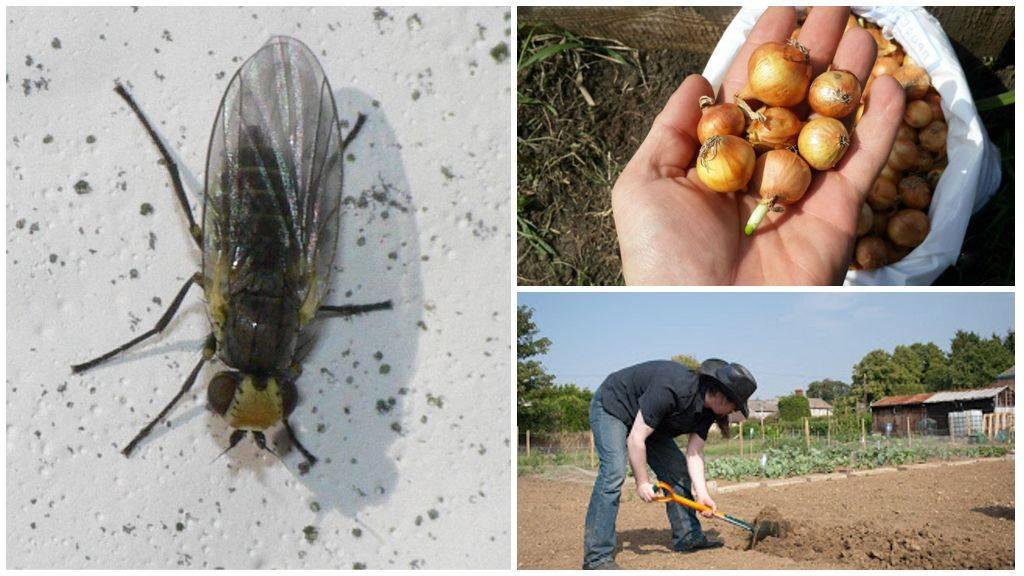 Луковая муха: что это такое и как с ней бороться