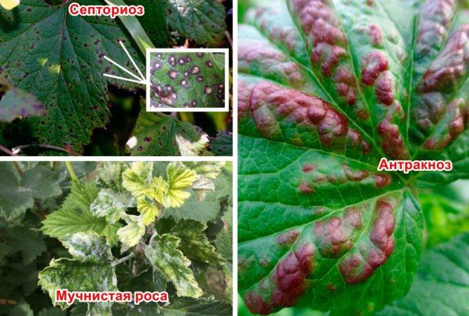Болезни и вредители смородины c фото