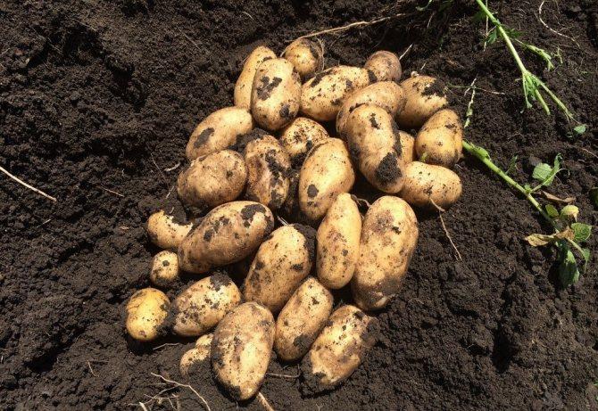 Сорт картофеля импала: описание, выращивание