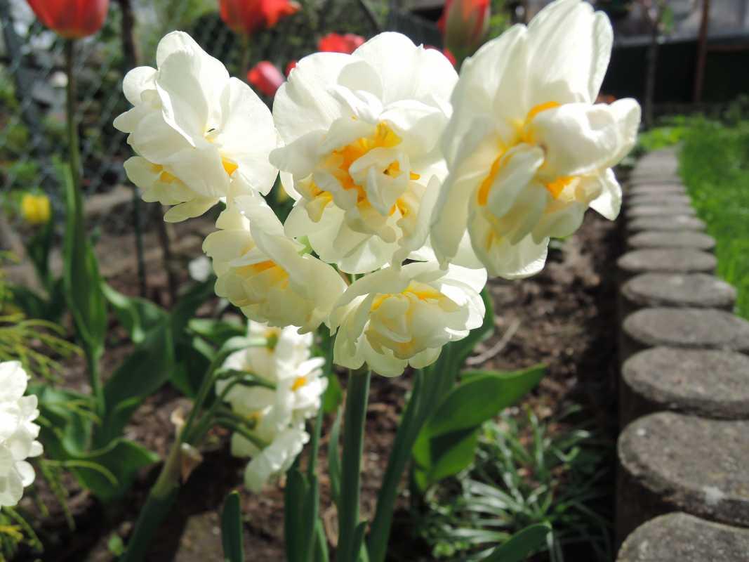Нарцисс кум лауд: описание и характеристики сорта, посадка и выращивание, отзывы с фото