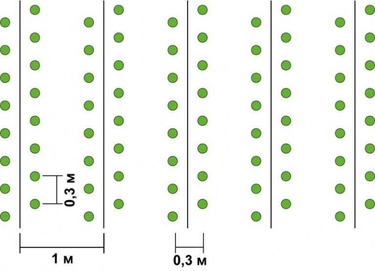 Рассада капусты: сроки и правила посадки, ухода, выращивания