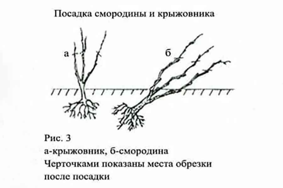 Правила и способы размножения кустов крыжовника