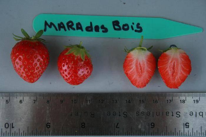 Мара де буа. нюансы сохранения урожая клубники, стандартные характеристики сорта, плюсы и минусы сорта, посадка и уход в 2021 году