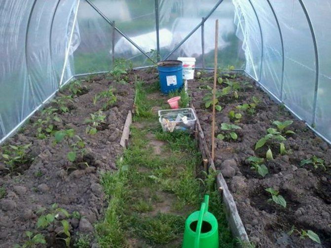 Баклажаны в теплице: выращивание и правильный уход