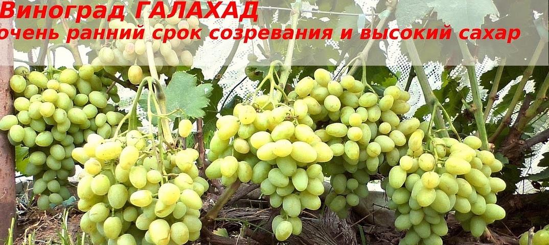Виноград гала: селекция, описание, посадка и уход, достоинства, отзывы