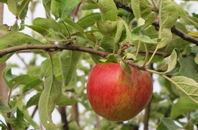 Сорт яблони беркутовское: описание, фото