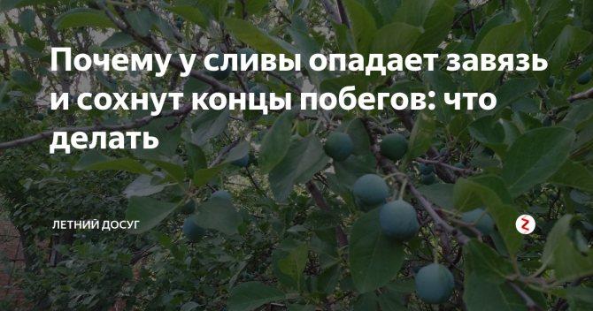Почему не плодоносит слива на supersadovnik.ru