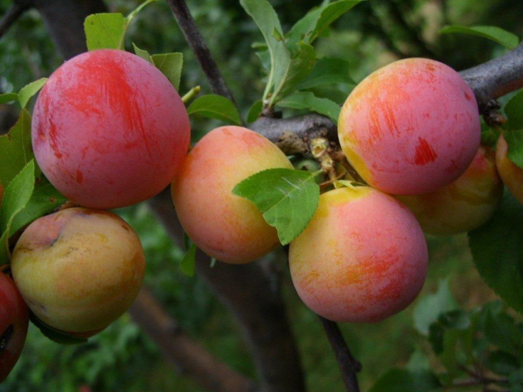 Описание сорта сливы этюд, характеристика и правила выращивания сливы