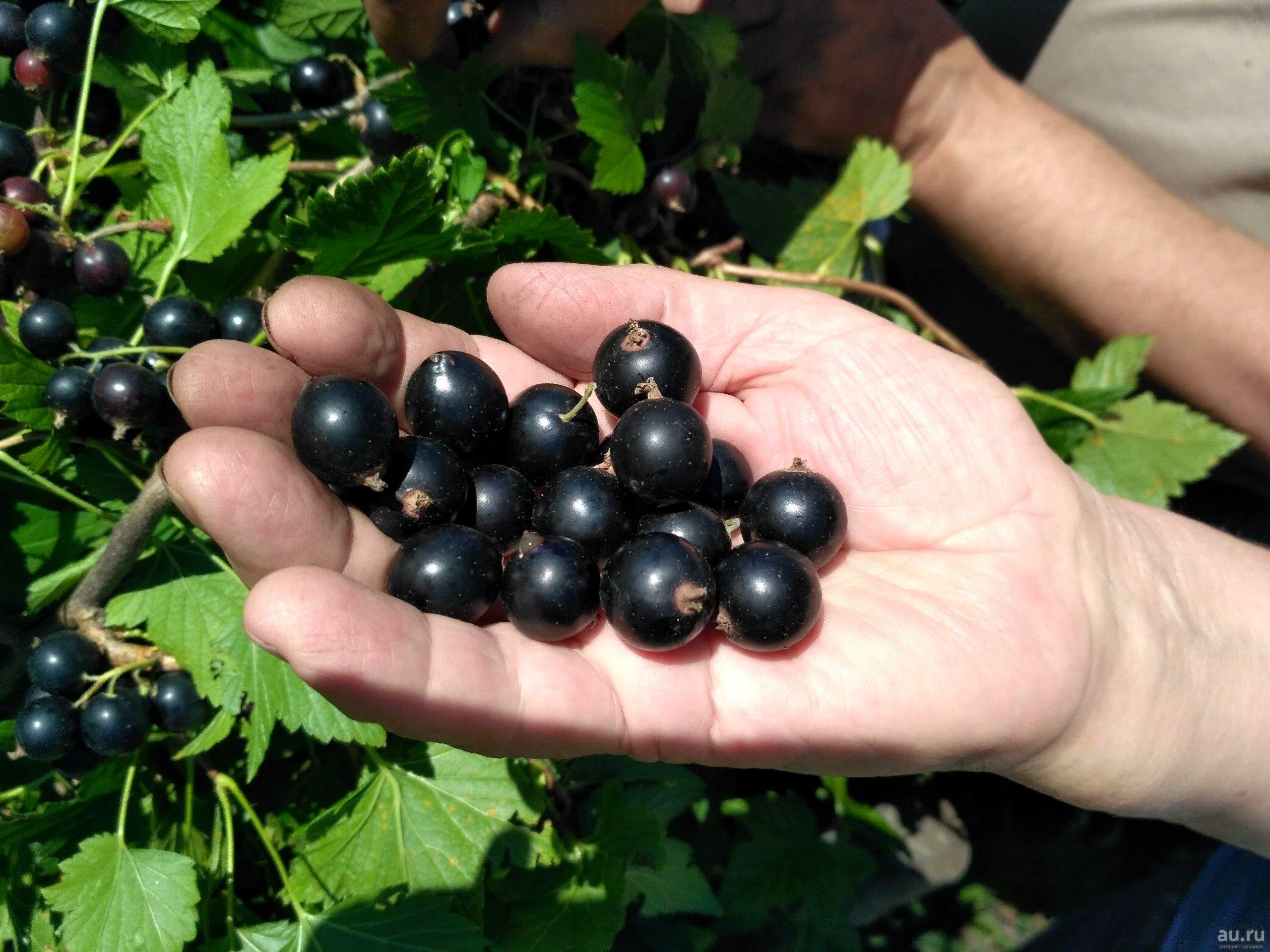 Чёрная смородина лентяй: позднеспелый сорт с крупными сладкими ягодами