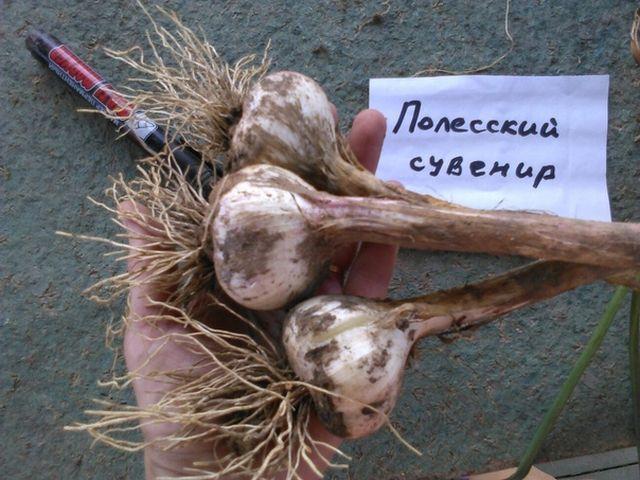 Сорта чеснока: названия и описание лучших видов зеленого растения, в том числе озимые комсомолец, сибирский, полевой, дикий черемша, декоративный, молодая однозубка