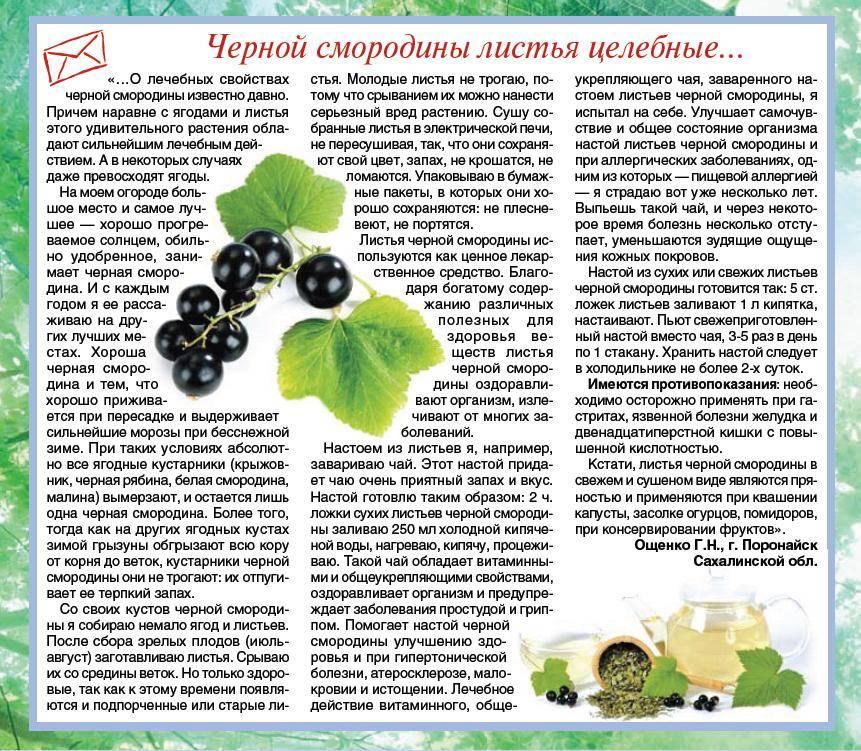 Полезные свойства и противопоказания белой смородины для организма человека