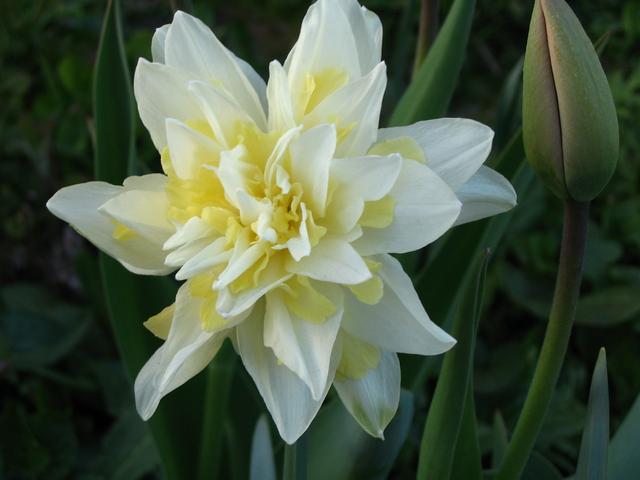 Нарцисс чирфулнесс: описание сорта и характеристики, посадка и уход