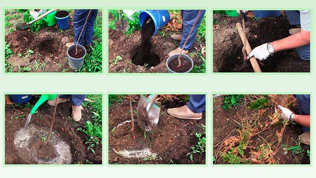 Размножаем абрикос! как получить целое дерево из косточки?