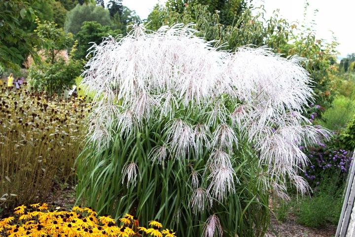 Мискантус (61 фото): посадка и уход в открытом грунте, описание сорта травянистого растения «зебринус» или «зебрина», веерник в ландшафтном дизайне, выращивание в подмосковье