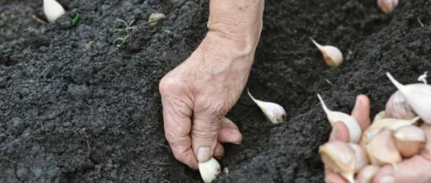 Как правильно сажать яровой и озимый чеснок: пошаговая инструкция для огородников