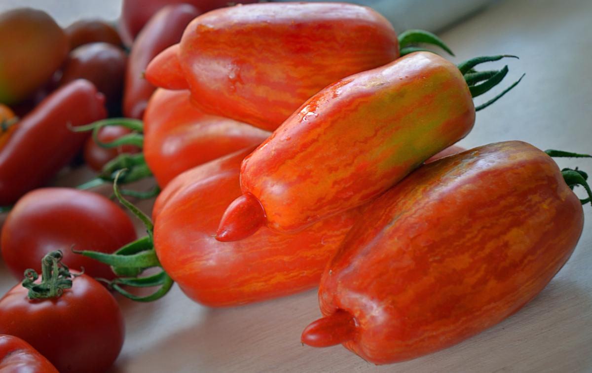Описание сорта томата вп 1 f1, рекомендации по выращиванию и уходу – дачные дела