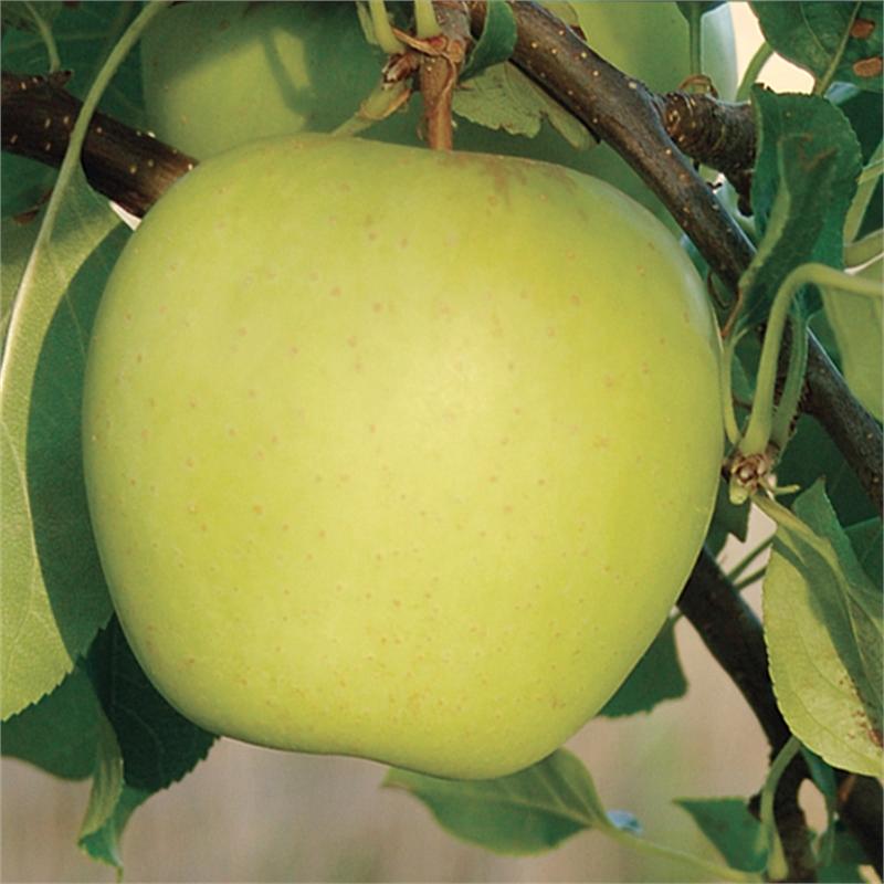 Яблоки голден: фото, калорийность, описание сорта, отзывы, польза