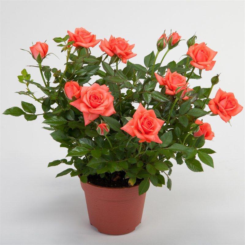 Роза кордана микс - как ухаживать после покупки в домашних условиях и можно ли высаживать в открытый грунт (фото)