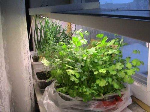 Как вырастить кинзу на подоконнике. посадка, выращивание, уход.