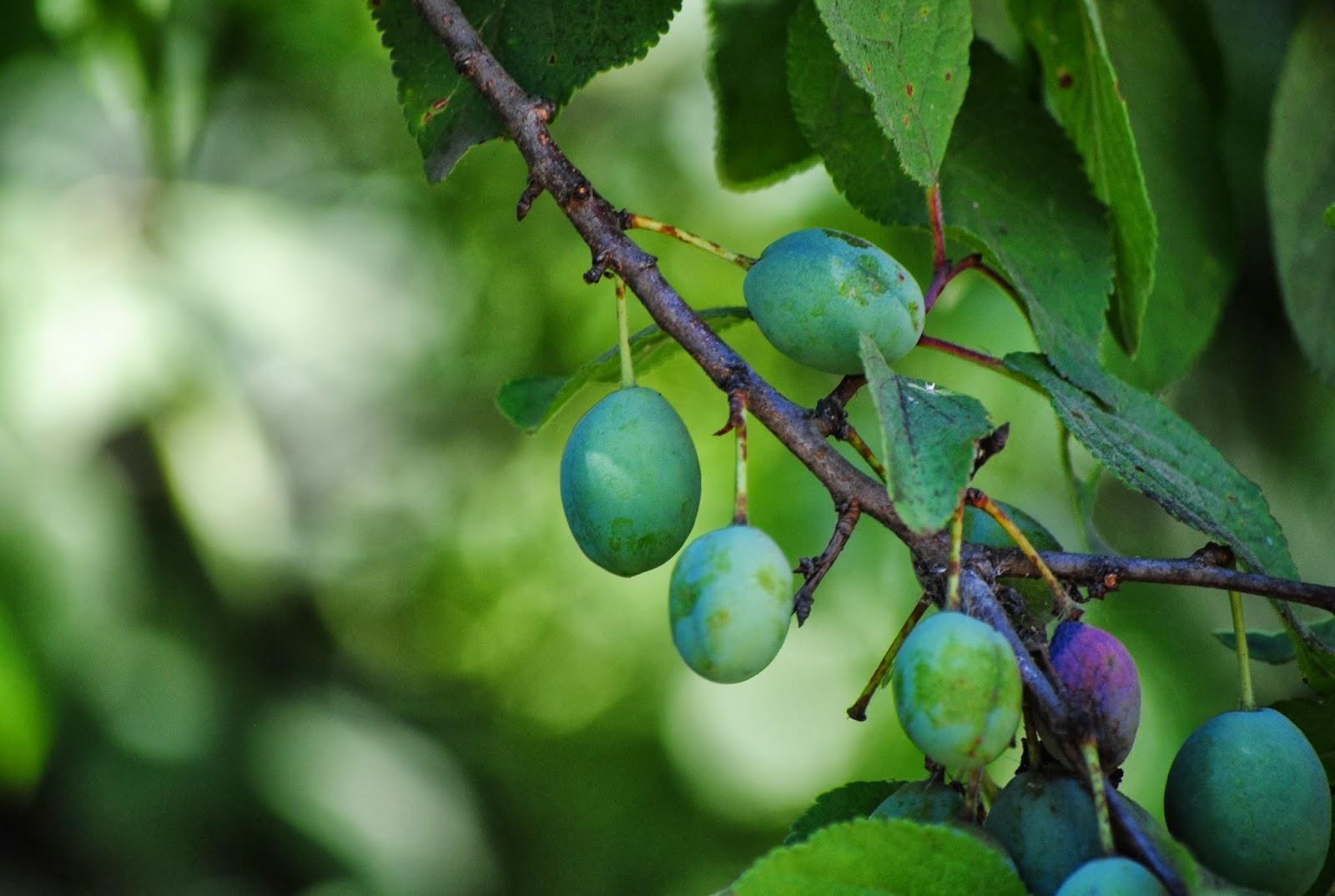 Что делать если слива сбрасывает плоды, причины возникновения и как лечить