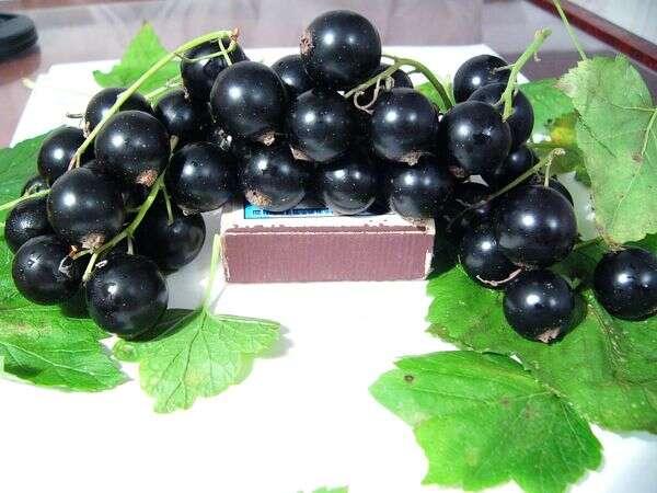 Смородина гулливер: описание сорта черной смородины, выращивание - посадка и уход