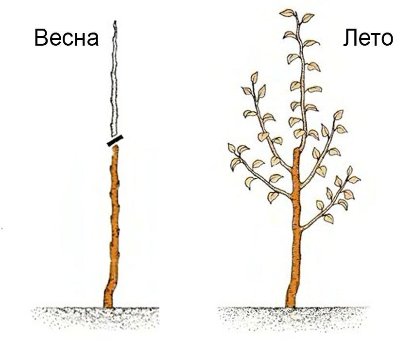 Причины, почему не плодоносит колоновидная яблоня и что делать для получения урожая - всё про сады