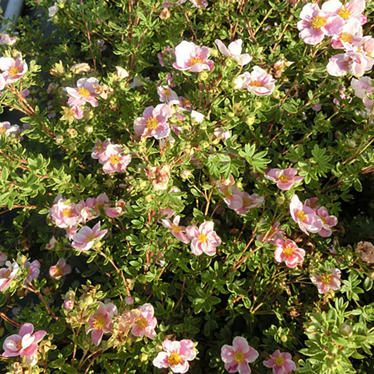Лапчатки кустарниковые: желтые, розовые, красные, выращивание и уход в открытом грунте