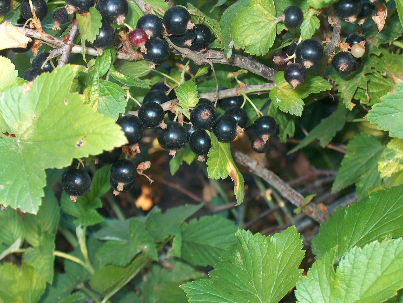 Описание 50 самых лучших сортов черной смородины для разных регионов