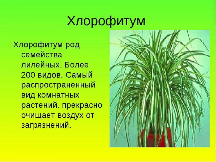 Как пересадить хлорофитум в домашних условиях? удобрения и грунт для хлорофитума - handskill.ru