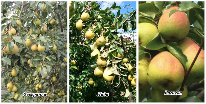 Груша рогнеда: описание и характеристика сорта, агротехника посадки и выращивания, фото | сортовед
