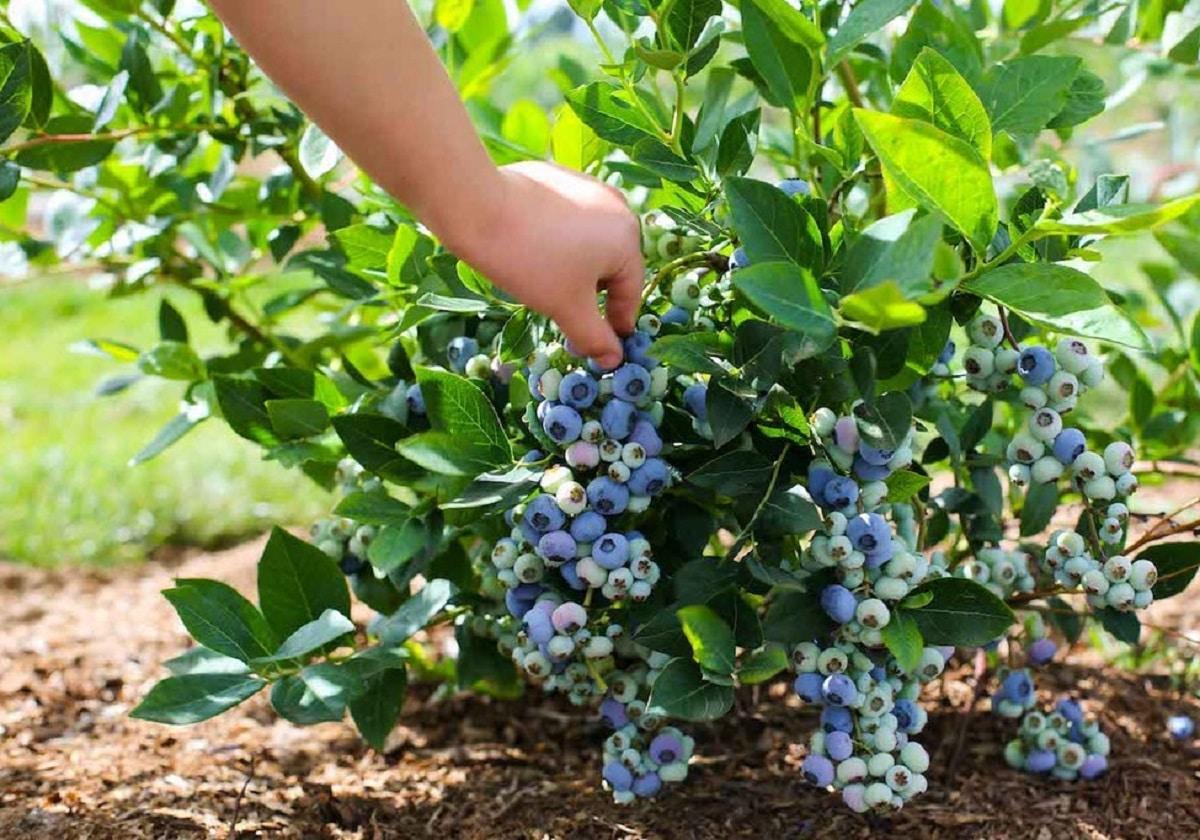 Голубика: особенности выращивания, посадка и уход, пошаговая инструкция