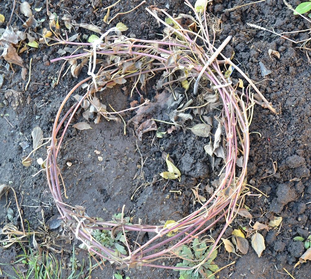 Клематис асао (asao): описание сорта, фото, отзывы, посадка и уход, выращивание