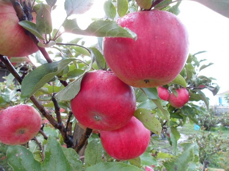 Какие яблони лучше посадить на даче в первую очередь, чтобы получить урожай яблок летом?