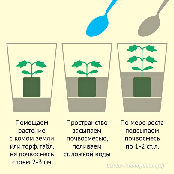 Подкормка рассады томатов: ее виды и особенности для дома